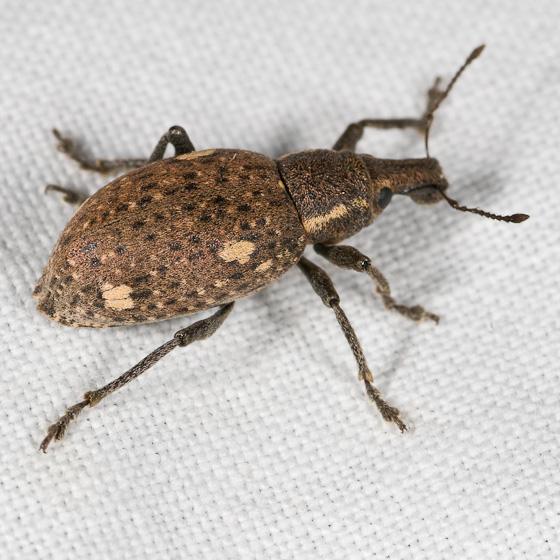 Trichalophus brunneus