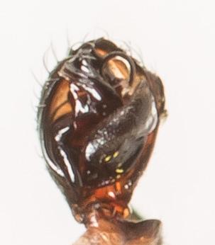 Ceraticelus similis - male