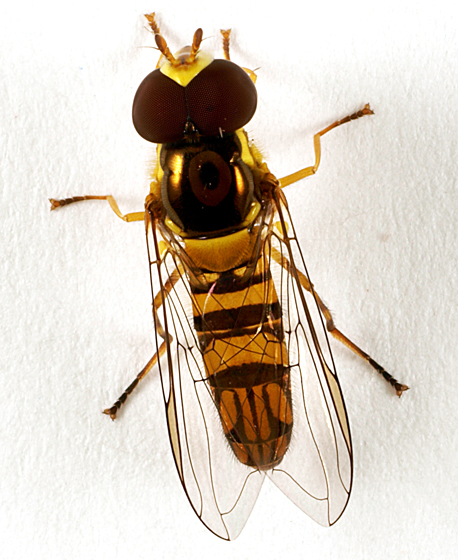 Syrphid to black light - Allograpta obliqua - male