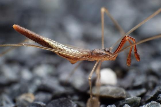Really weird spider - Rhomphaea fictilium - male