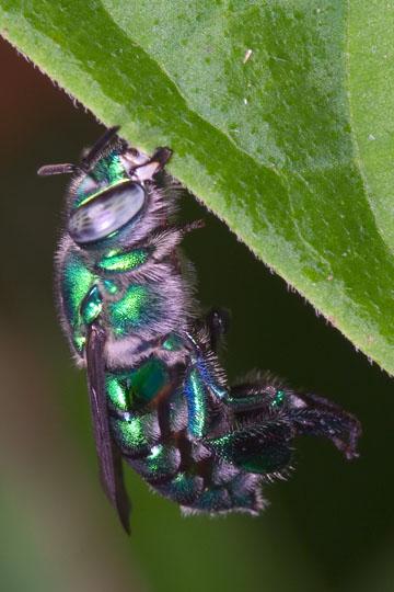 Orchid bee - Euglossa dilemma - female