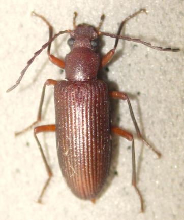 Hoping this is Stronylium, but could be a Helops... - Helops arizonensis