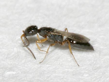 Tiny Wasp - Laelius pedatus