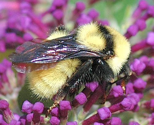 Golden Northern Bumble Bee - Bombus fervidus - female