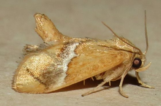 Yellow-shouldered Slug Moth - Hodges#4665 - Lithacodes fasciola