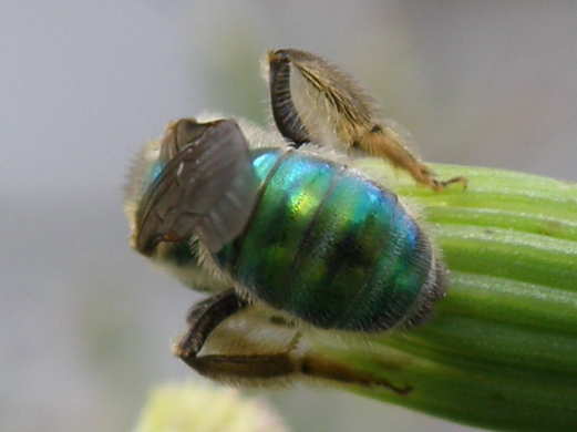 Unidentified Insect 103 - Agapostemon