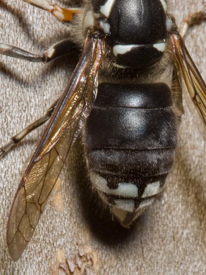 black and white wasp - Dolichovespula maculata