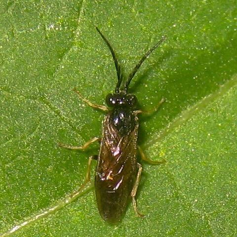 Cladius difformis - male