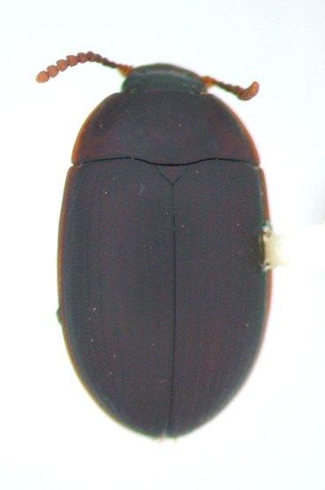 Platydema ruficorne