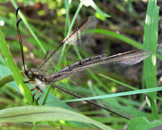 Owlfly 3 - 08 - Ascaloptynx appendiculata