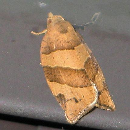Woodgrain Leafroller - Pandemis lamprosana