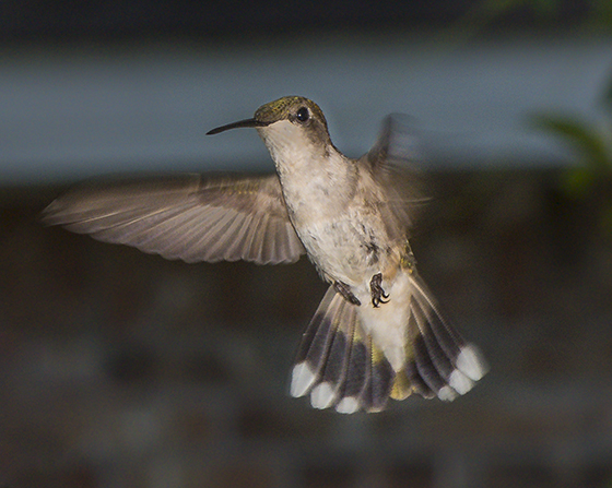 Ruby-throated Hummingbird from deck - female