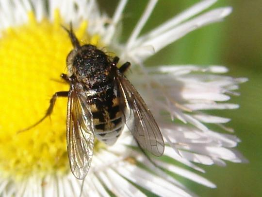 Hunchback Fly - Toxophora amphitea - female