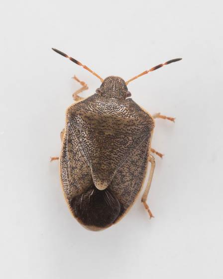 ID this colorado bug - Holcostethus limbolarius - BugGuide Net