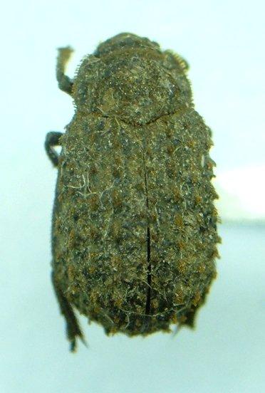 Trox spinulosus - male