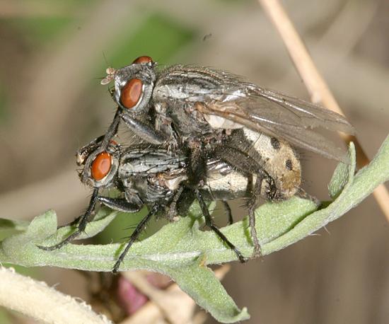 Mating Flesh Flies - Wohlfahrtia vigil - male - female