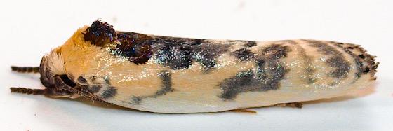 Moth to porch light  - Antaeotricha