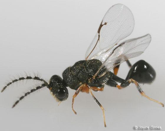 wasp - Eurytoma - male