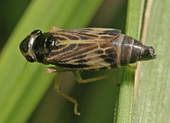 Leafhopper - Evacanthus acuminatus - male