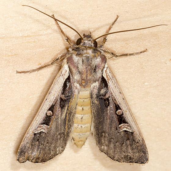 Western Bean Cutworm Moth - Hodges#10878 - Striacosta albicosta