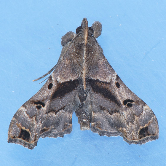 8398 Faint-spotted Palthis  - Palthis asopialis