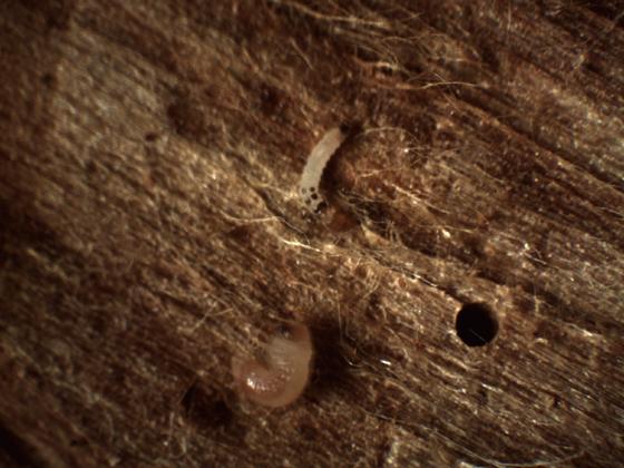 Larva-larva - Nemozoma championi