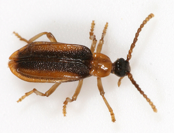 Black and orange beetle - Ischalia costata