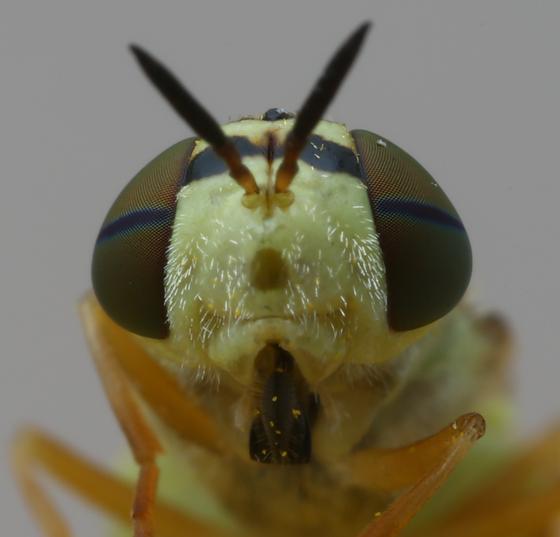 soldier fly - Odontomyia tumida - female