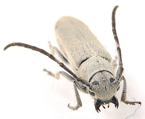 Cerambycidae -- ? - Mecas cineracea