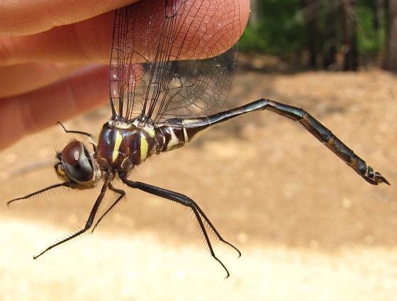 Somatochlora provocans - female