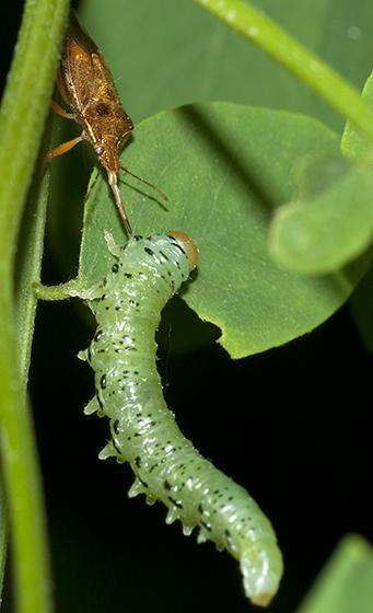 Locust Sawfly larva  - Nematus tibialis