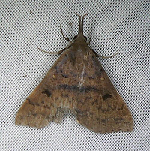 Moth - Renia salusalis - female
