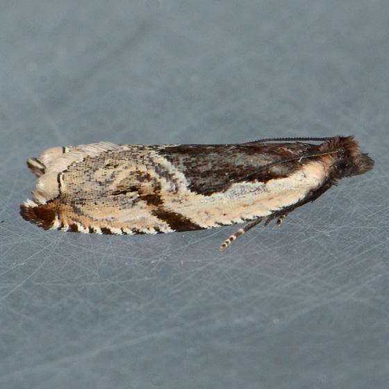 3363 - Ancylis simuloides