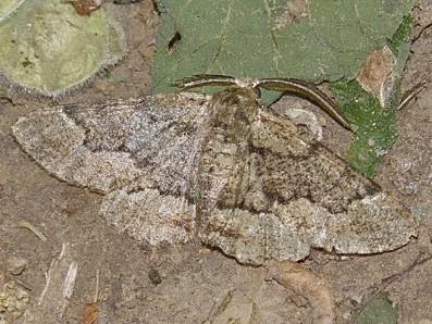Geometer Moth - Phaeoura quernaria