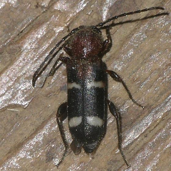 Longhorned Beetle - Phymatodes varius