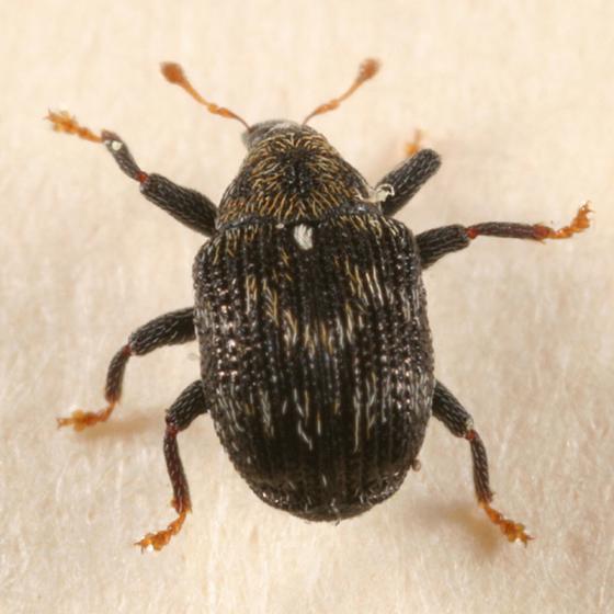 weevil - Piazorhinus scutellaris