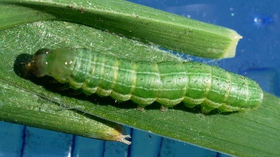 caterpillar - May 28 - Loscopia velata