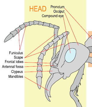 Ant Worker Morphology--head