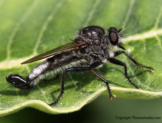 Robberfly - Efferia pogonias