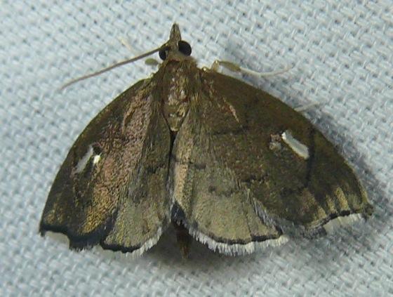 Pyralid Moth - Perispasta caeculalis - male