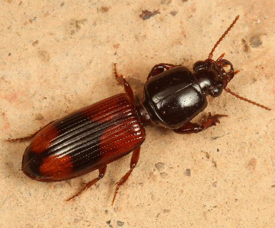ground beetle - Paraclivina bipustulata