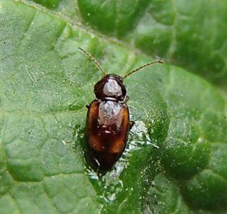 Beetle - Stenolophus? - Elaphropus