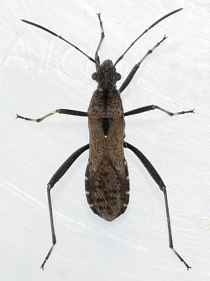 bug - Alydus conspersus