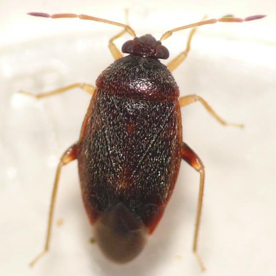 Ceratocapsus sp. - Ceratocapsus