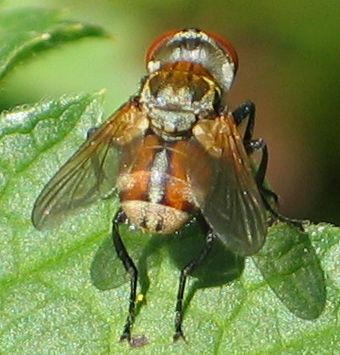 stubby reddish-brown fly - 2 - Gymnoclytia