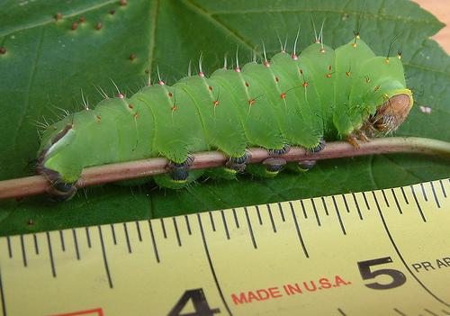 polyphemus 5th instar - Antheraea polyphemus