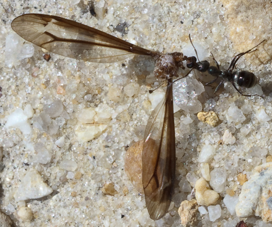 Ant + Part of a dragonfly - Formica subsericea