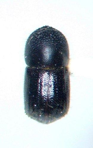 Anisandrus obesus - female