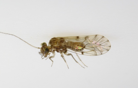 Lachesilla nita Sommerman - Lachesilla nita - male