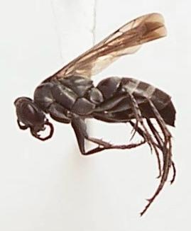 Aporinellus yucatanensis - female